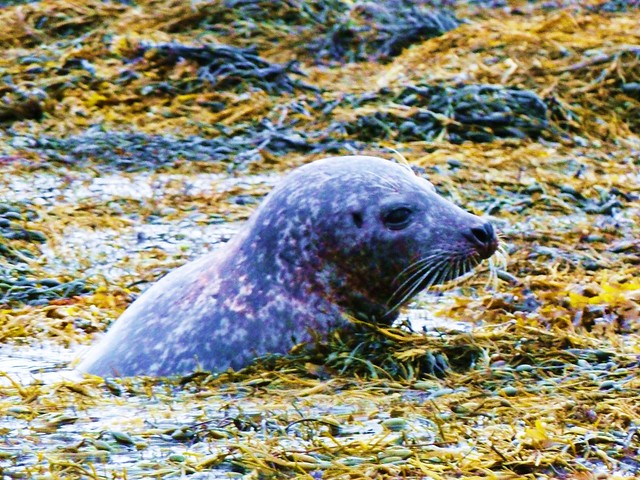 Common Seal, Dunvegan, Skye, Scotland.