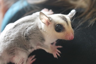 Sugar Glider Vet Virginia Beach