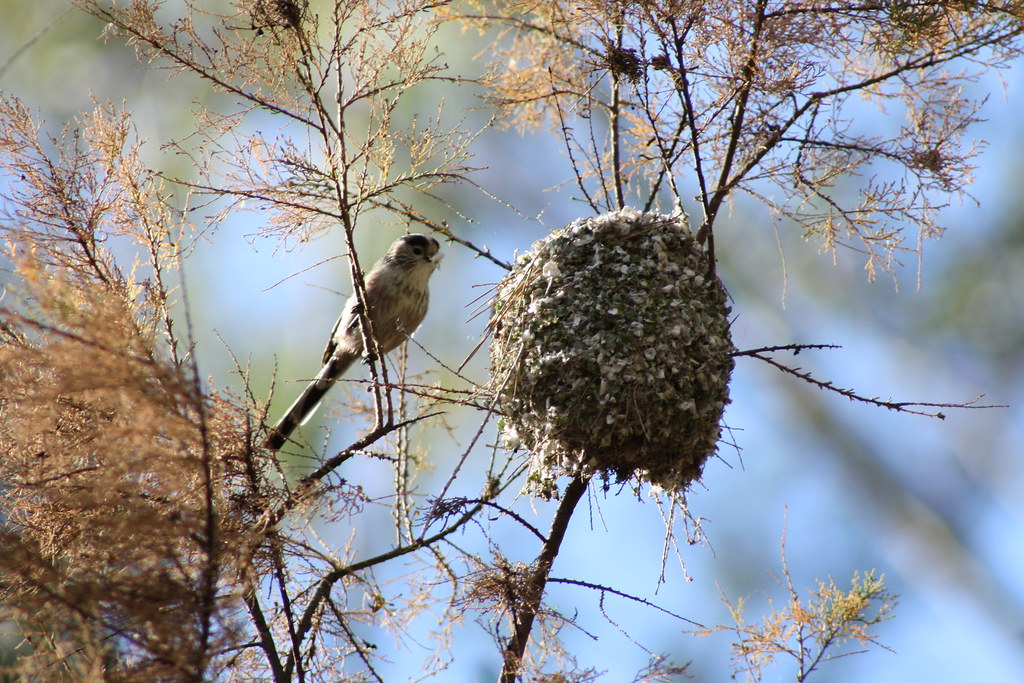 Resultado de imagen para Aegithalos caudatus nidos