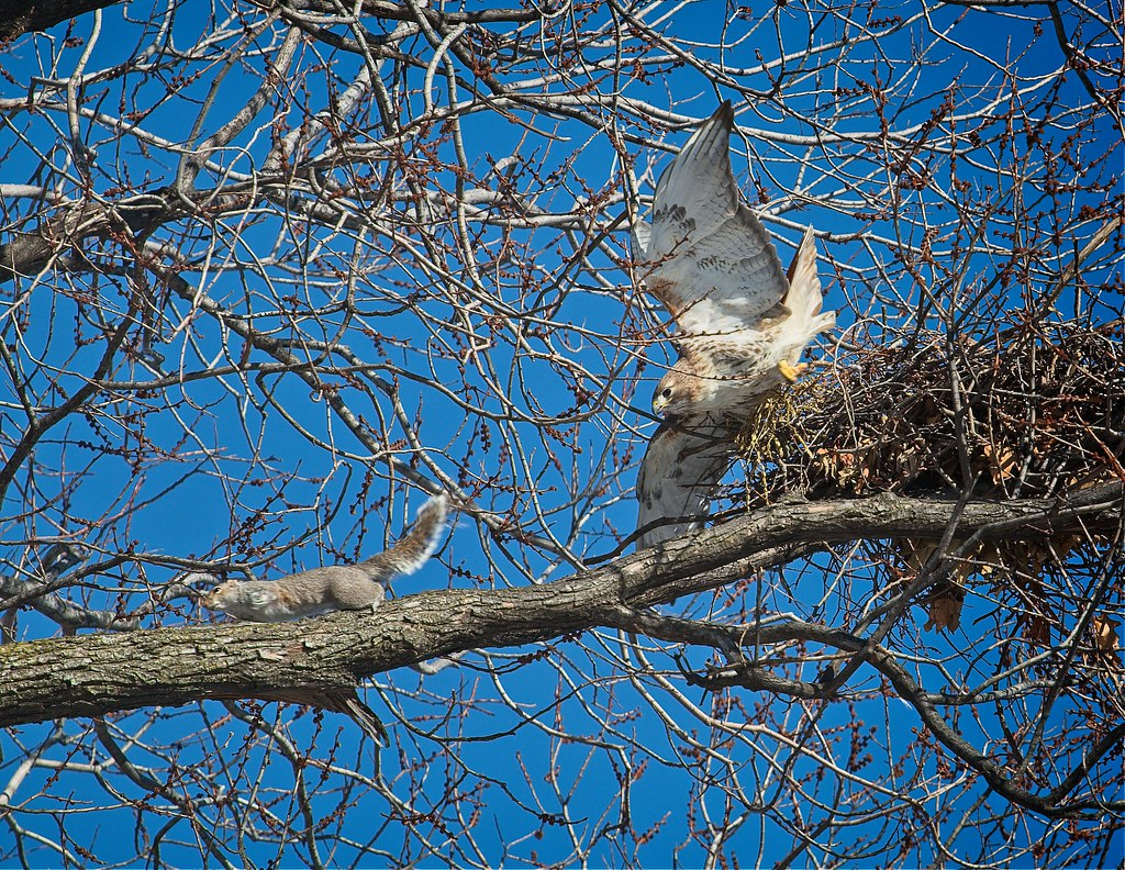 Christo chases intruding squirrel from nest