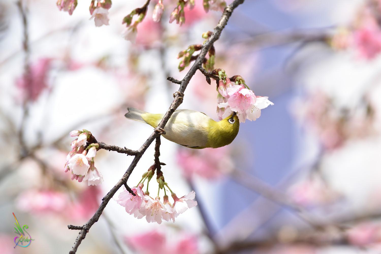 Sakura_White-eye_9583