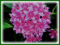 Pentas lanceolata (Egyptian Star-cluster, Egyptian Star, Star Flower, Star Cluster, Pentas) with wonderful star-shaped flowers, 30 March 2017