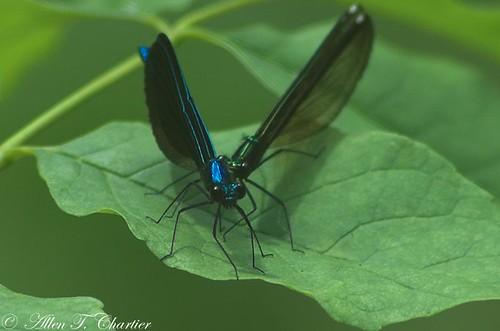 Calopteryx maculata (Ebony Jewelwing)
