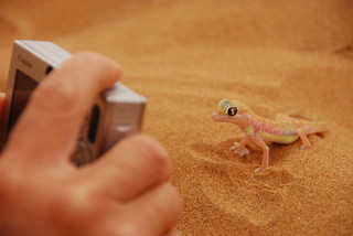 desert gecko in namibia | by catherina unger