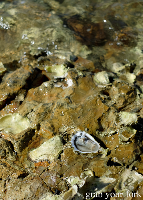 Freshly shucked wild oyster on Bruny Island in Tasmania