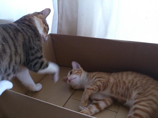 ダンボール箱をめぐってトロワと争うはな