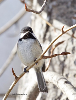 Black-capped Chickadee - 2 | by keithricflick