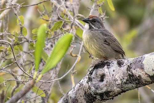 Cuba: Zapata Sparrow, subspecies varonai