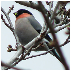 Eurasian Bullfinch. Male