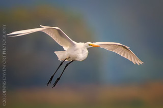 Soaring Great Egret | by DennisDavenportPhotography
