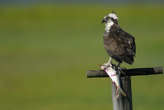 Osprey with Menhaden | by Mark Schwall