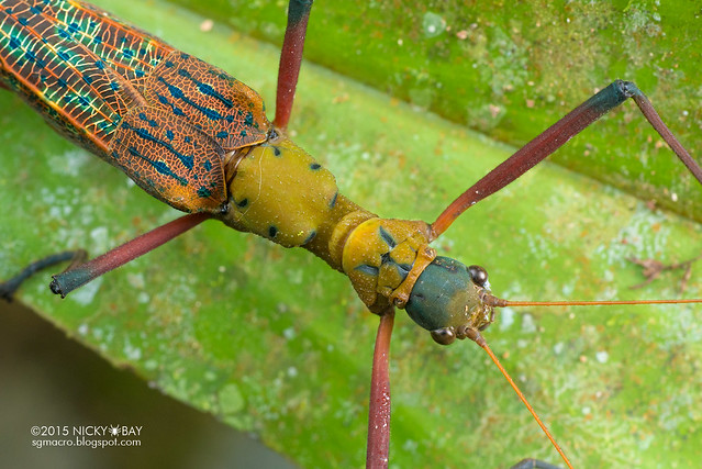 Knob necked stick insect (Calvisia hennemanni) - DSC_4535