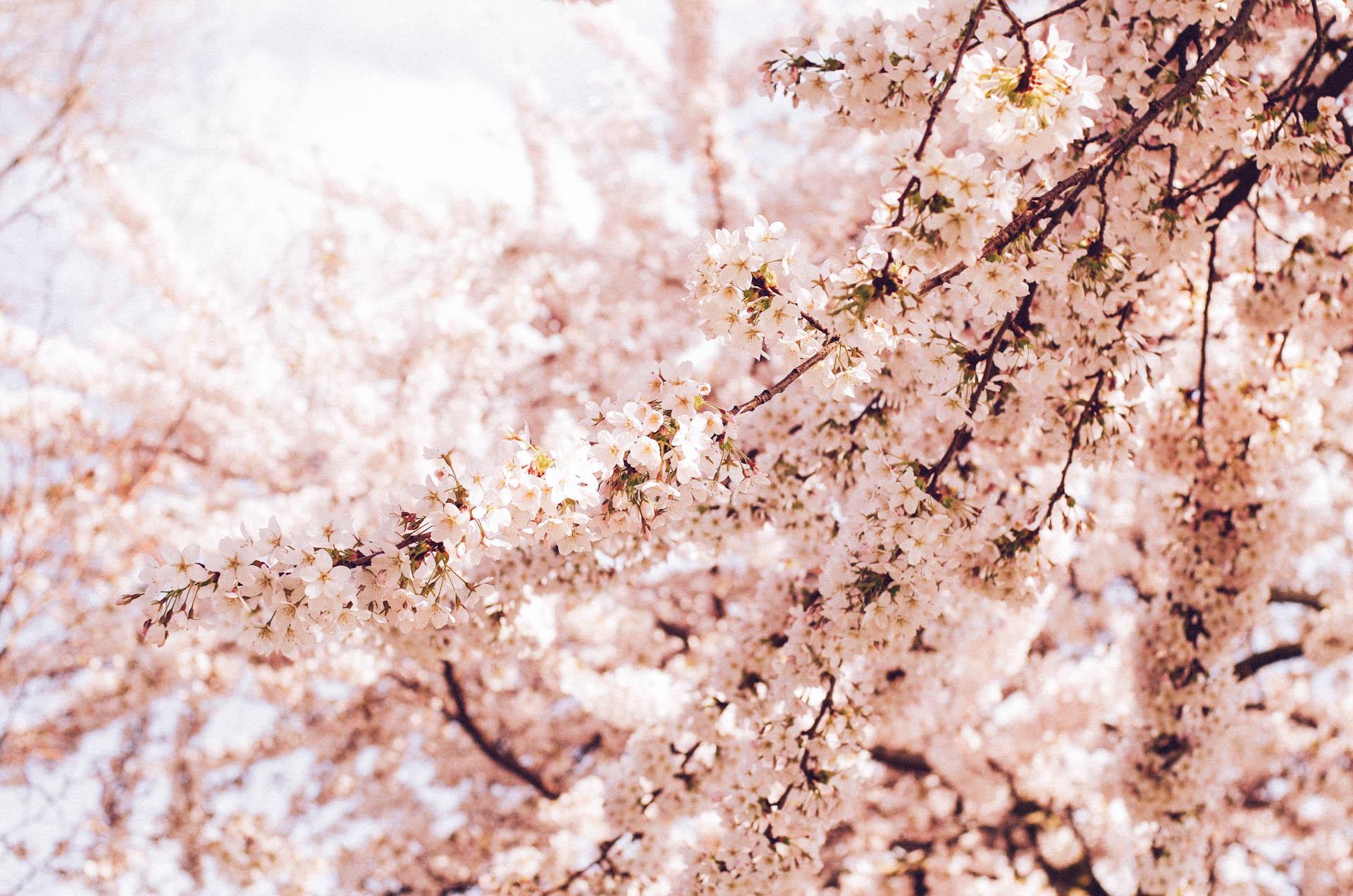 Amsterdam, Cherry Blossom in Westerpark
