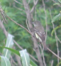 Alder flycatcher (Empidonax alnorum), Levy Lake - Barr Hammock Loop, Alachua Co., FL (8-25-13) (c) | by lorax operative