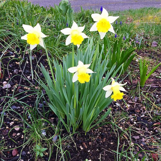 Sweet little spring daffodils. 💛