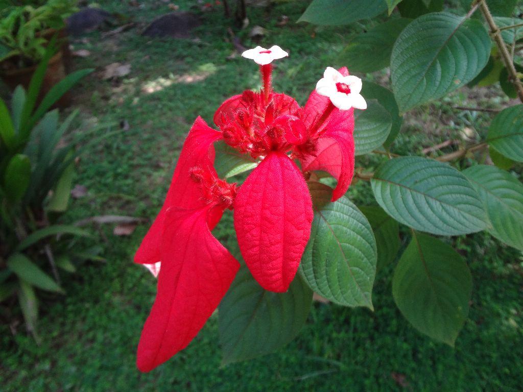 Red Flag Bush Flower Mussaenda Flower Mussaenda Flower O Flickr