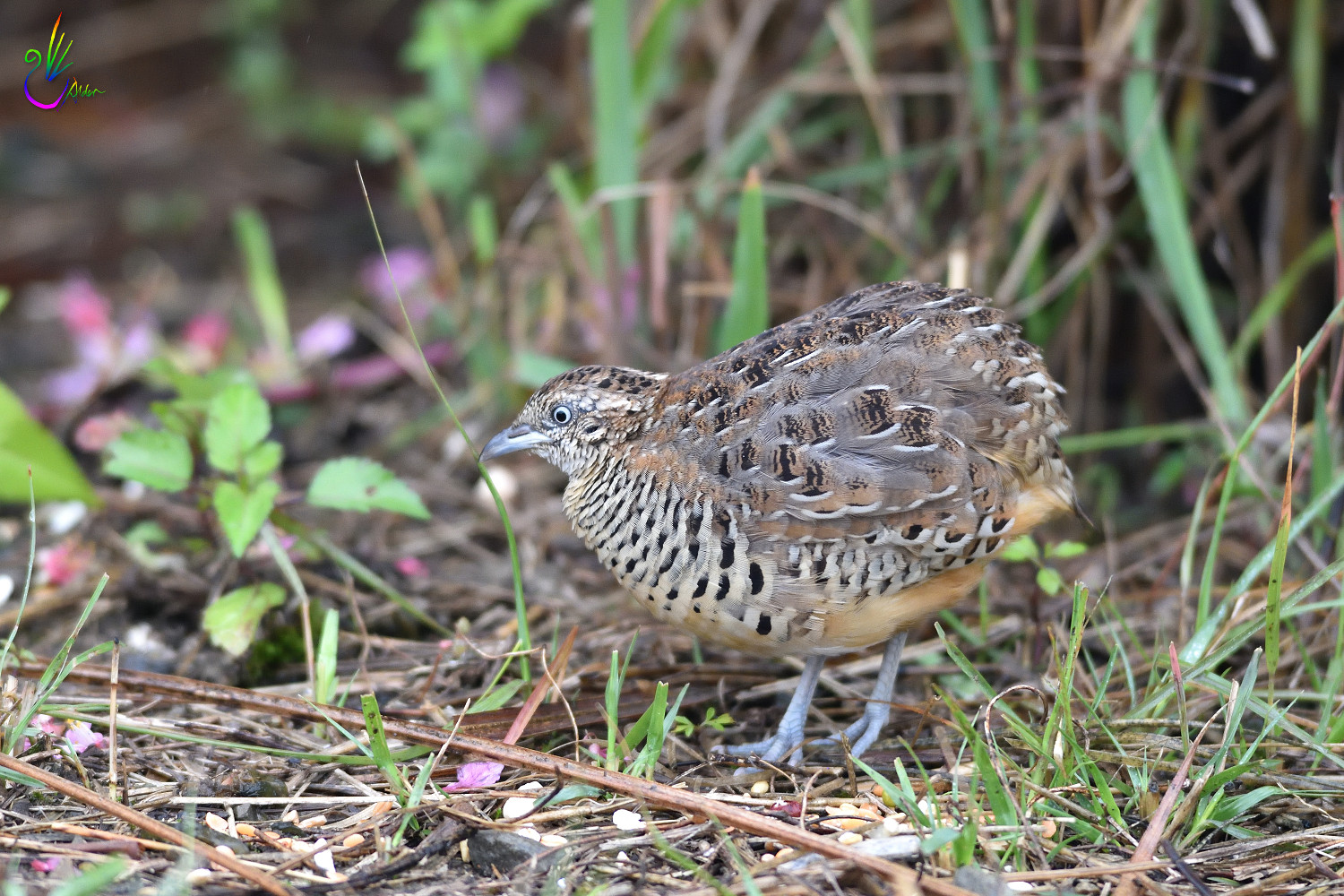 Barred_Buttonquail_7424