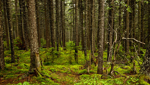 Gaudineer' s Knob Scenic Area | Virgin Red Spruce forest ...