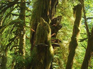 116 Quinault Rain Forest