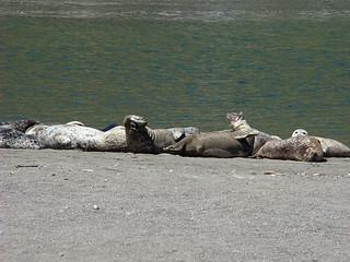 052 Zeehonden bij Goat Rock State Beach