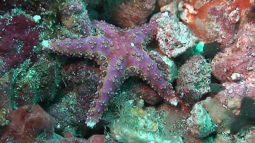 Neoferdina glyptodisca sea star ind10 3429