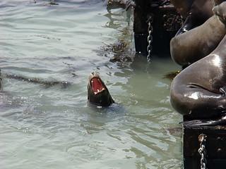 052 Zeeleeuwen bij Pier 39