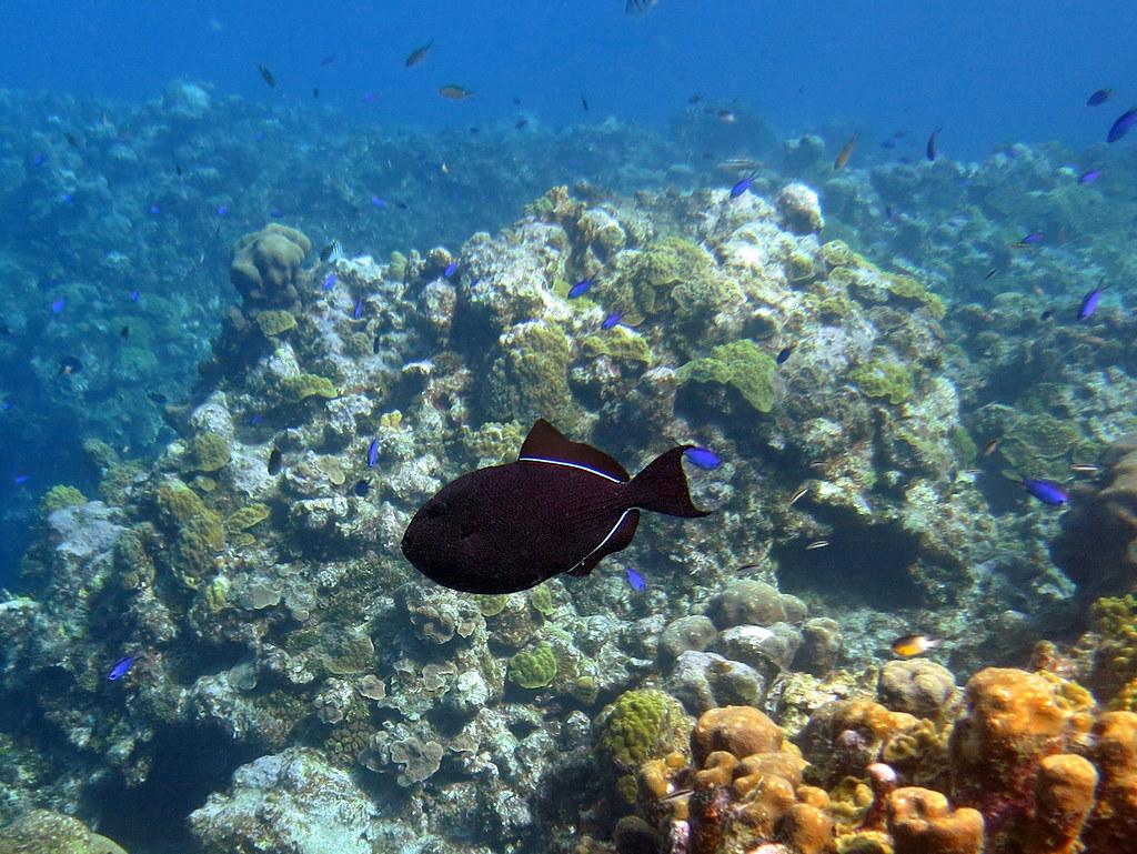 black durgon triggerfish over the reef at eden rock gra u2026 flickr