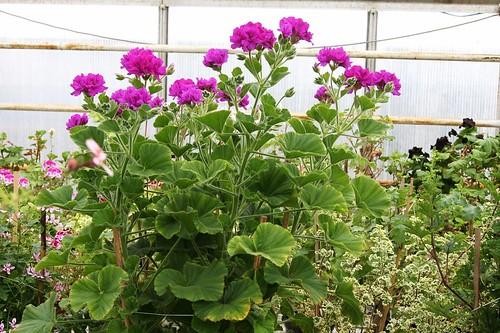 'Flore Plenum' (× P. cucullatum)