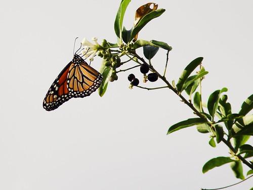 Monarch 20140221