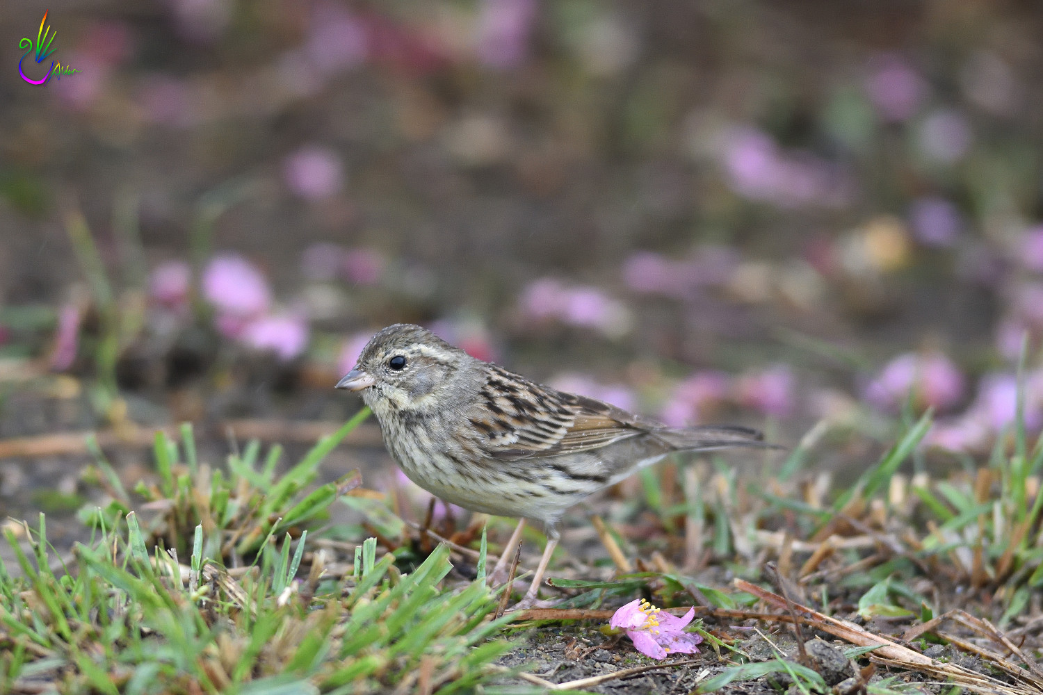 Black-faced_Bunting_7586