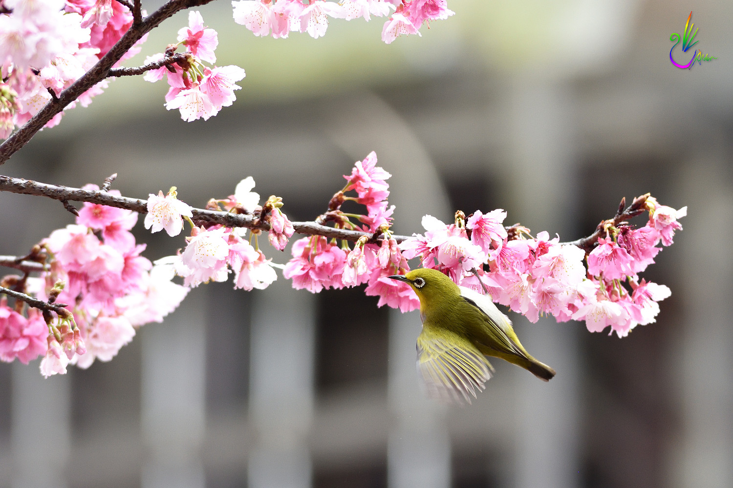 Sakura_White-eye_1322