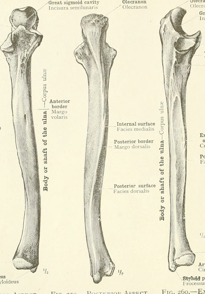 Image From Page 127 Of An Atlas Of Human Anatomy For Stud Flickr