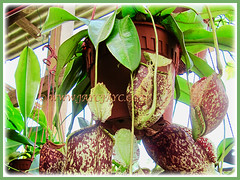 Beautiful Nepenthes x hookeriana (Hooker's Pitcher-Plant, Tropical Pitcher Plant, Monkey Cup) in a hanging pot, 9 Dec 2011