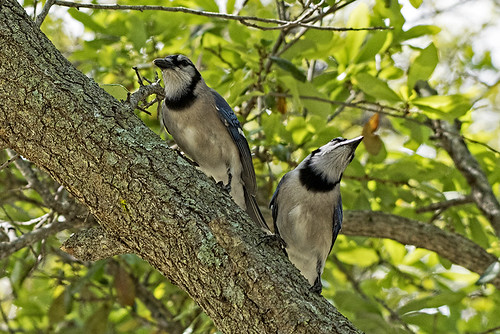 Evergreen Cemetery: Blue Jays Courting