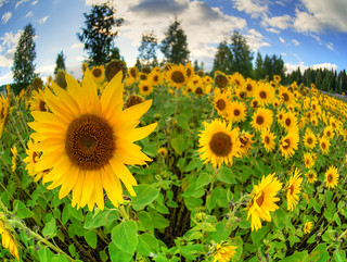 Daily Meditation: Sunflower Sutra