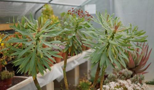 Euphorbia atropurpurea  32452493053_efc52632c9