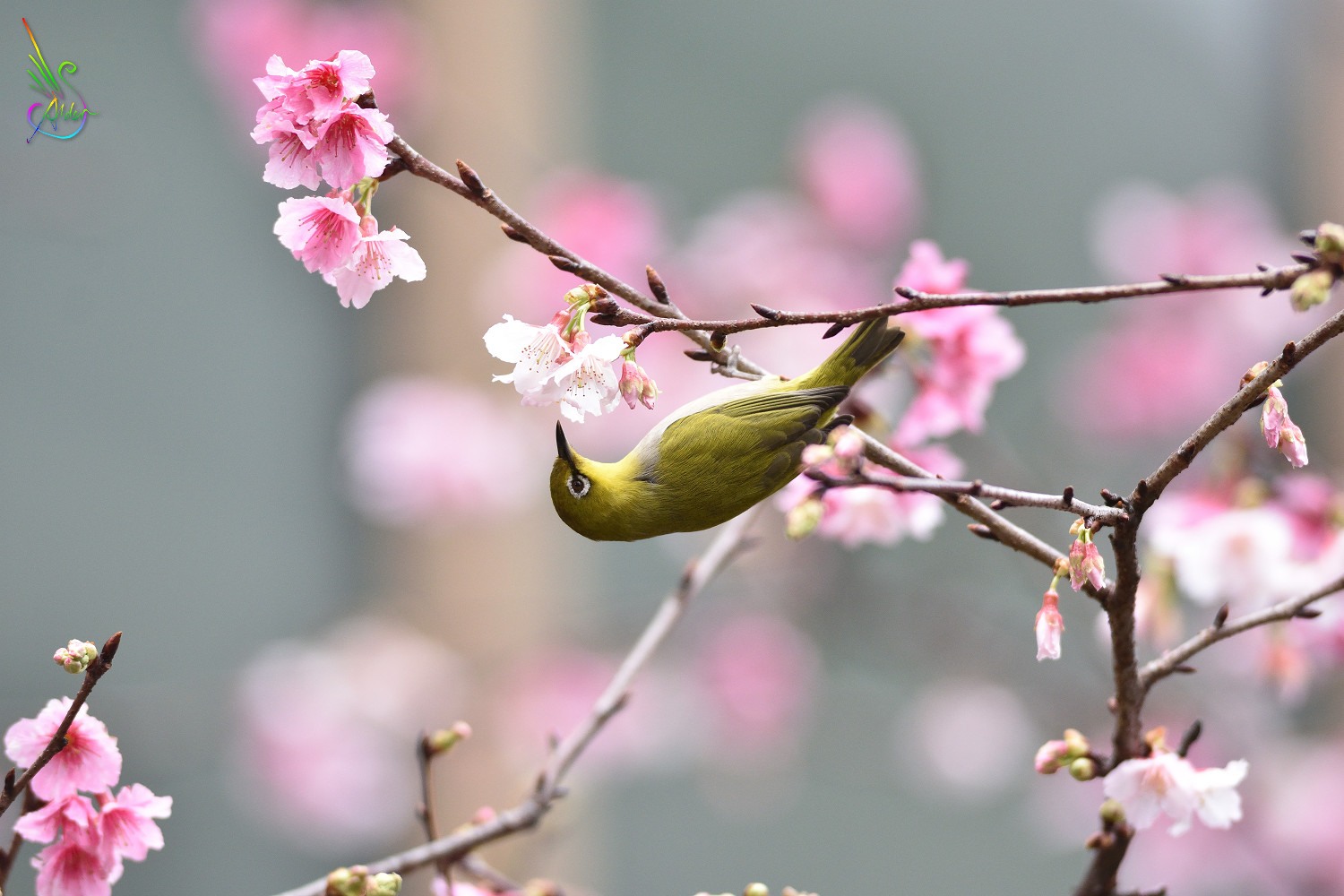 Sakura_White-eye_0035