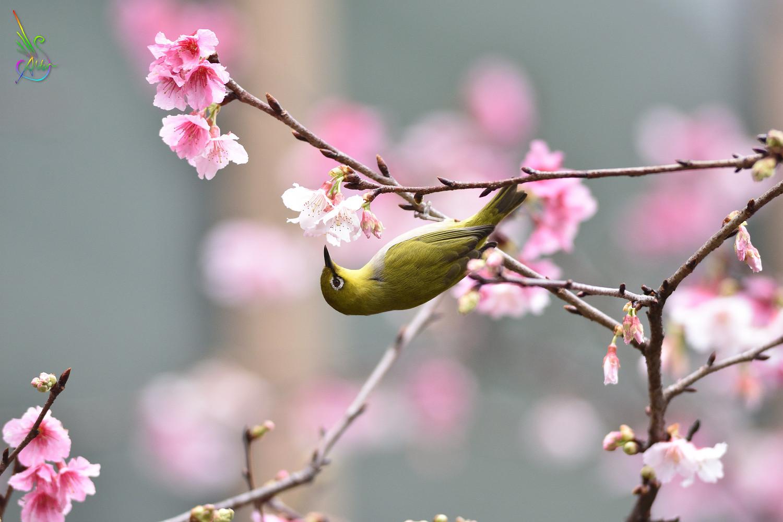 Sakura_White-eye_0035