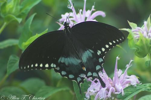 Papilio troilus (Spicebush Swallowtail)