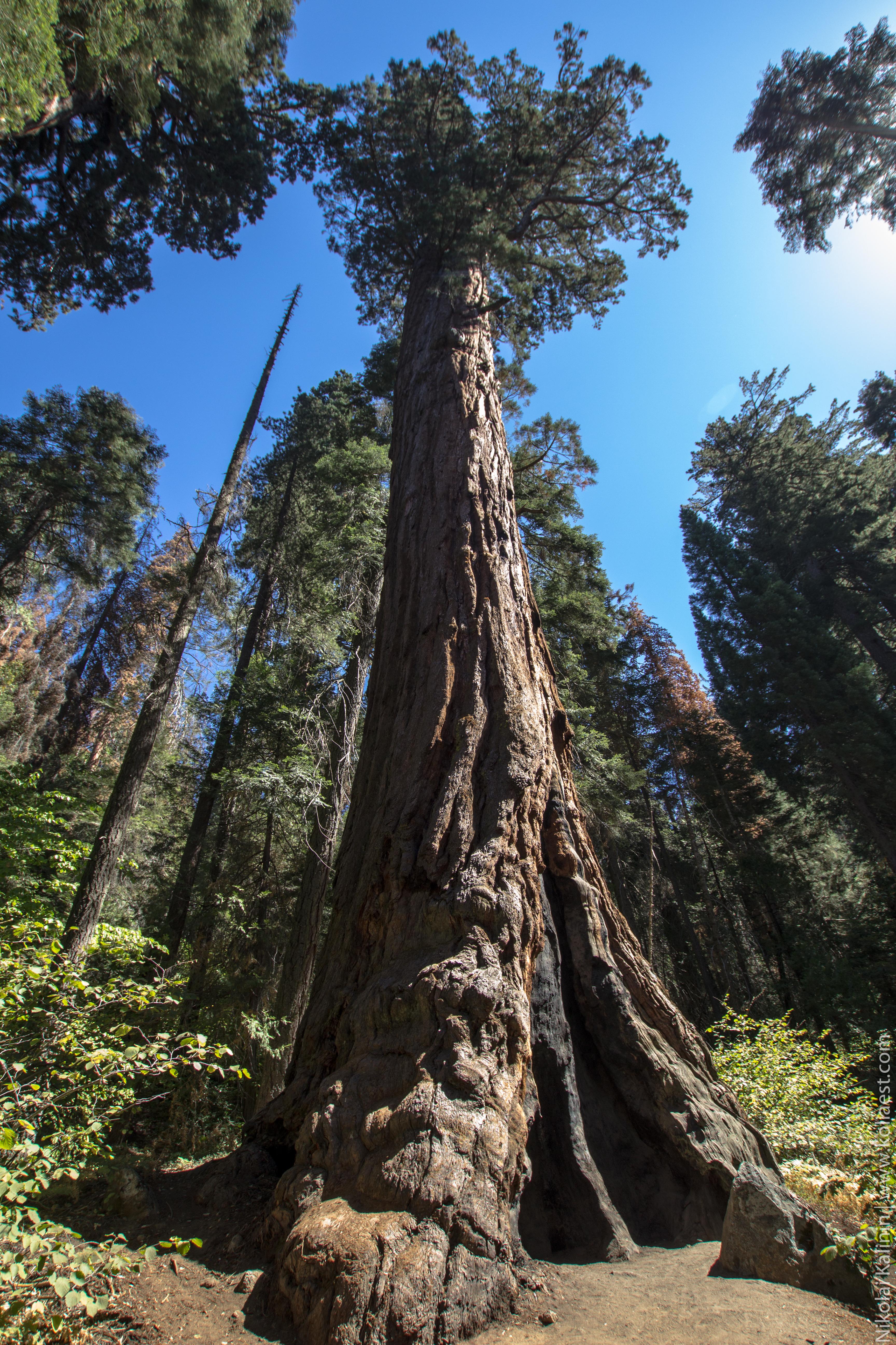 Sequoia-69