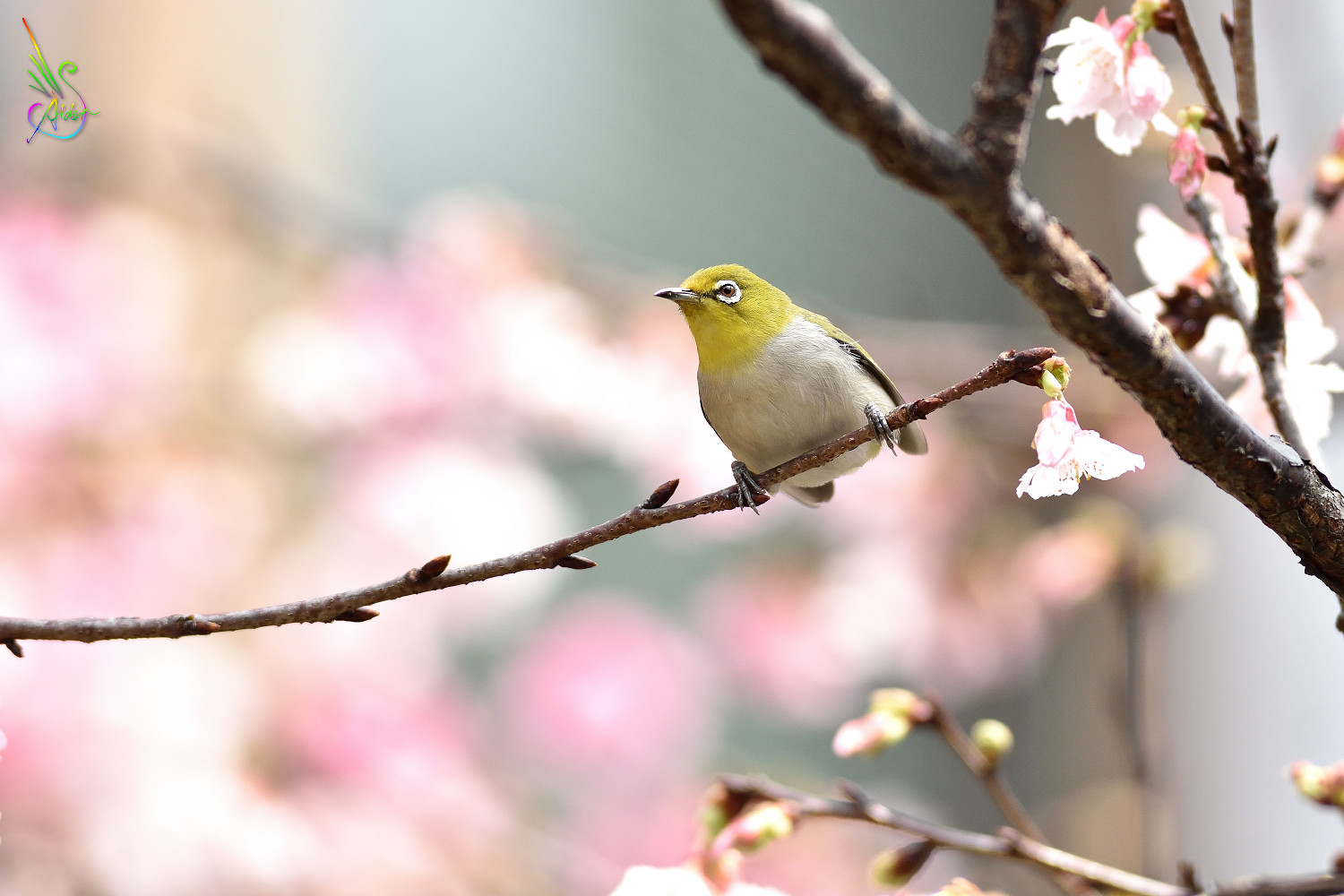 Sakura_White-eye_9369