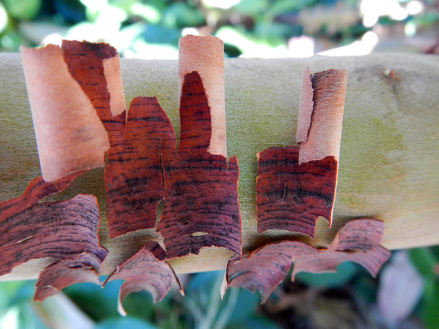 The peeling bark of an arbutus tree