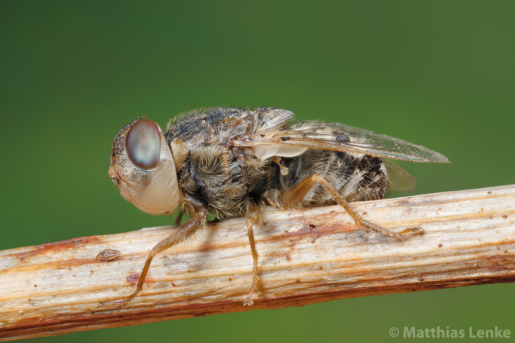 Sheep nose bot fly schafbremse oestrus ovis well i kno flickr sheep nose bot fly schafbremse oestrus ovis by matthias lenke sciox Images