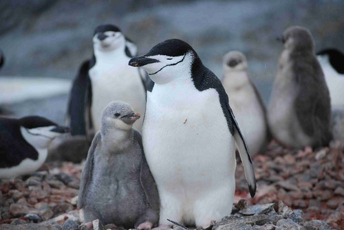 Chinstrap Penguines | by pallter