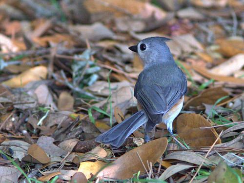 Tufted Titmouse 02-20170306