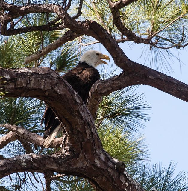 Bald Eagle 95a_3394