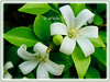 Murraya paniculata (Orange Jessamine/Jasmine, Chinese Box, Mock Orange/Lime, Lakeview Jasmine)