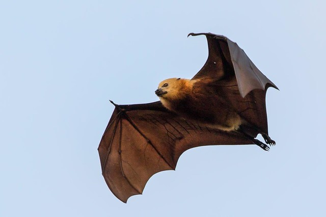 photo of Mauritius Fruit Bat