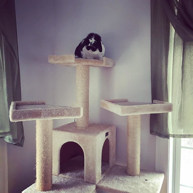 The rabbit has found a way to climb all the way up the cat tower. Time to rearrange some furniture around the bottom. 🐰 #houserabbit