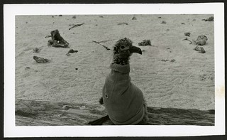 "Blackfoot Albatross chick in ""sweater"", Kure Atoll (undated). 